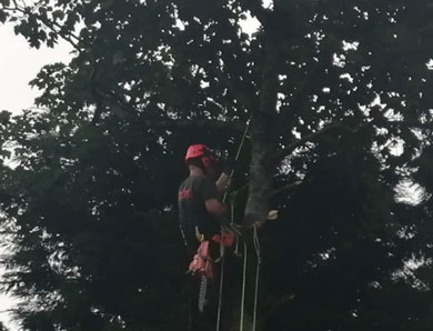 Tree Surgeons South Hams